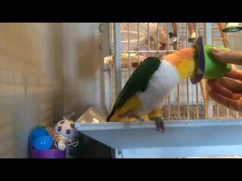 Bird Training: Prep for Anesthesia Mask