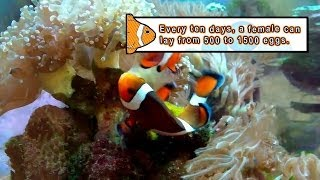 Watch Clownfish Sex Tape (The Circle of Life Has Never Been So Sexy!)