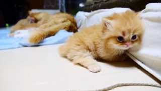 Fluffy Munchkin Kitten Tries to Squeeze Into Mattress