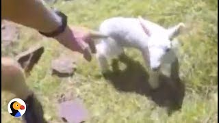 Lost Baby Lamb Carried Back To His Family by Runner   The Dodo