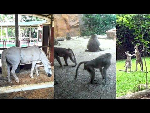 Kangaroo Fight | Wildlife Monkey Videos | Zoo Horses | Singapore Zoo Wild Animals | PKS Dreams