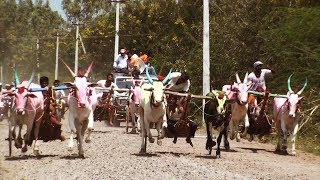 Bullock Cart Race at Chandkavate बैलगाडा शर्यत