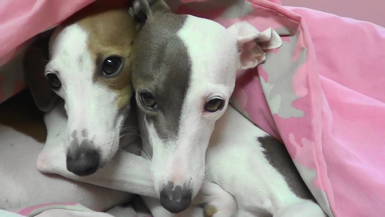 Image result for precious italian greyhound