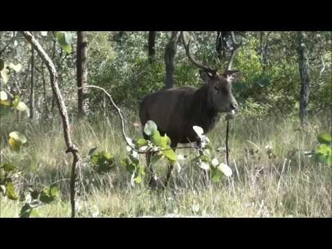 Queensland Red Deer Bowhunt 2014