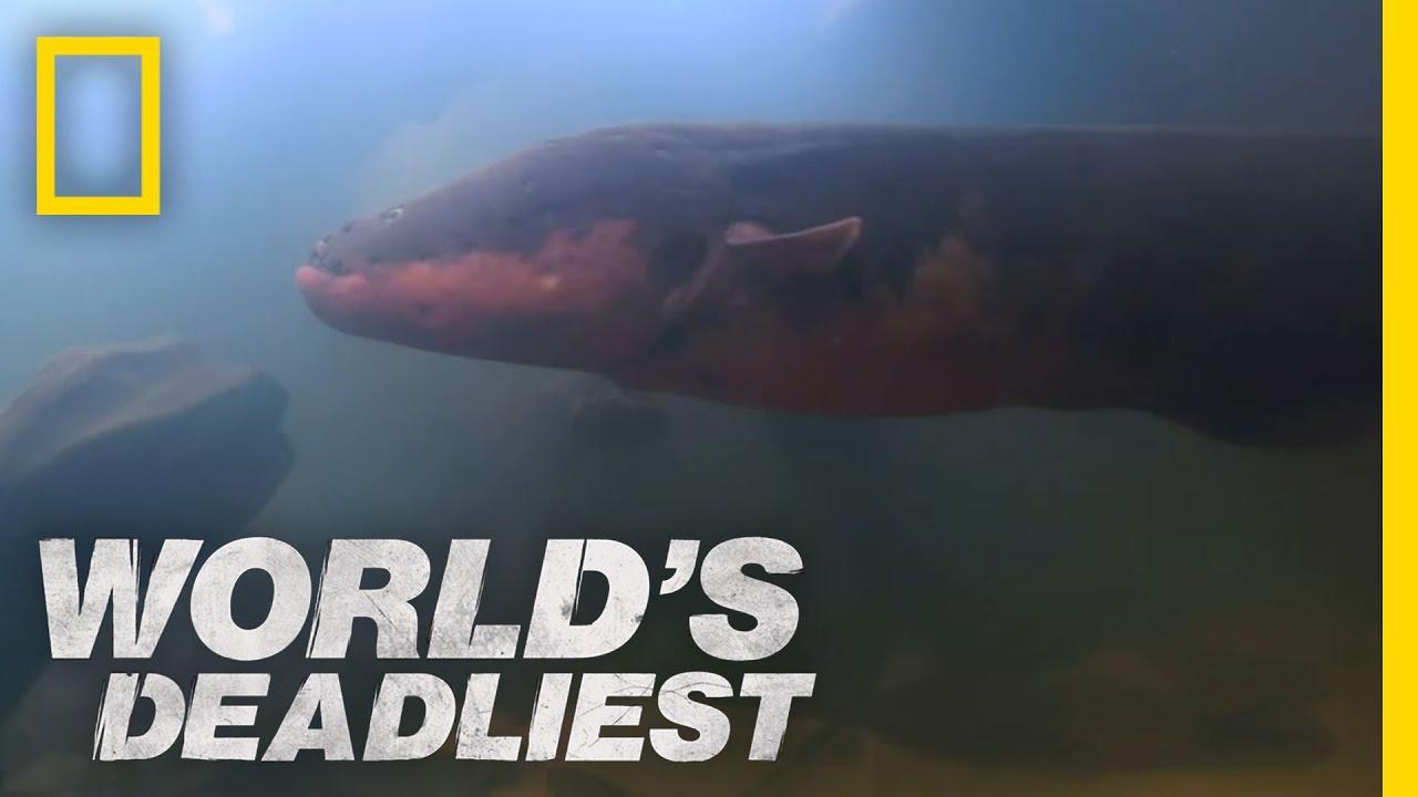 World U0026 39 S Deadliest - Six-foot Electric Eel