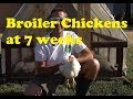 Raising Broiler Chickens in AZ Part 8