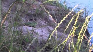 Lacul La Izvor e plin de pericole și… de broaște