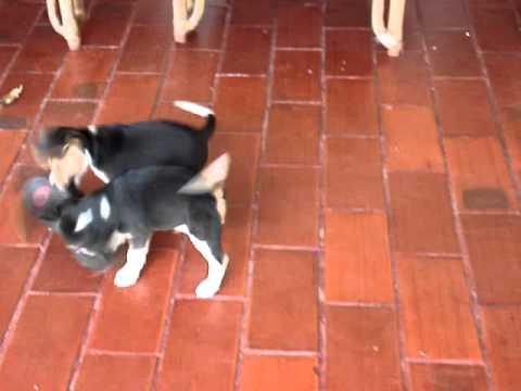 Ataque de cães da raça beagle em um chine...... www.canilsm.com.br