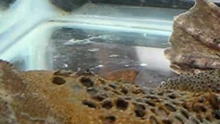 Pipa Pipa Surinam Toad Babies Emerging
