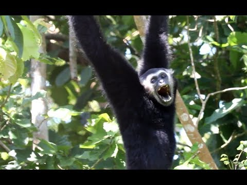 Amazing Natural Gibbon Song _ Peace full a Family Gibbon
