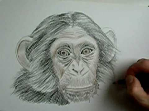 how to draw a chimpanzee youtube