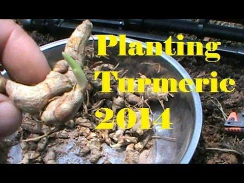 Planting Turmeric 2014