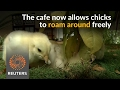 Chicks roam free as customers dine at Taiwan cafe