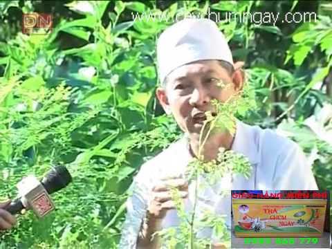 Cách trồng cây chùm ngây