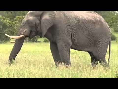 Słoń afrykański  - dzika przyroda Afryki ,, Safari