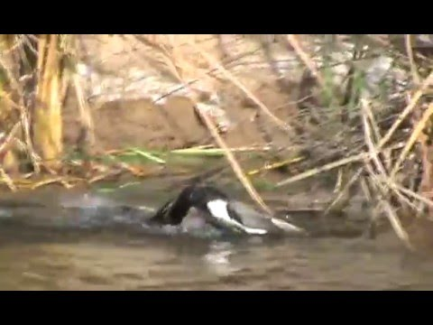 DUCKS AND DOGS - PATOS Y PERROS DE CAZA - HUNTING DOGS