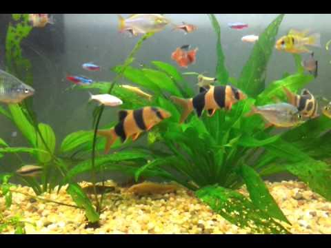 peces agua dulce calida imagui