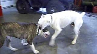 Boxer Vs Pitbull Terrier