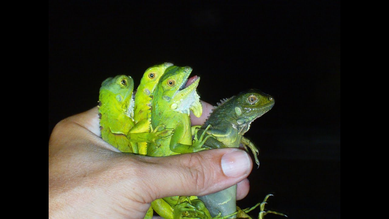 Baby Iguanas wild caught from Florida - YouTube