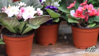 African Violet And Primrose Two Beautiful Flowers To Add