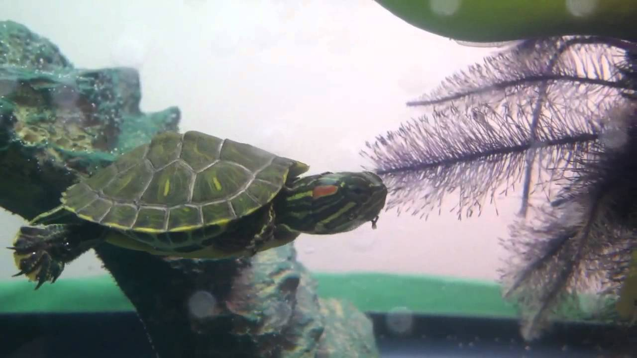 Red ear slider turtle eating water hyacinth plant - YouTube