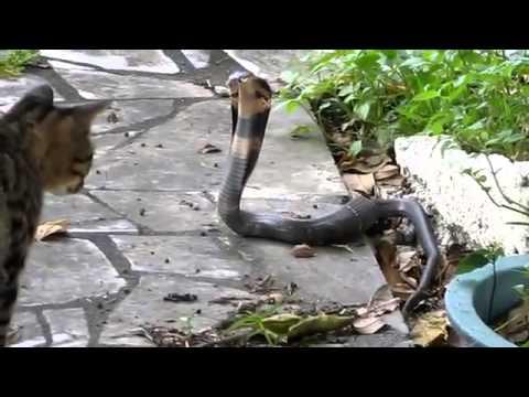 mèo và rắn đấu nhau