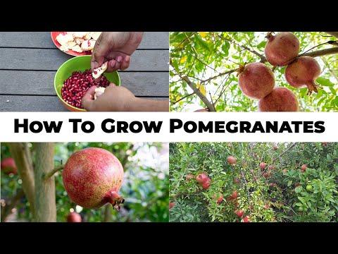 The 5 Year Pomegranate Journey - How To Grow Pomegranates