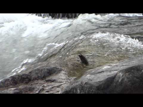 00000 Wallcreeper bathing in the Kameng River, 301113, Eaglenest WLS trip