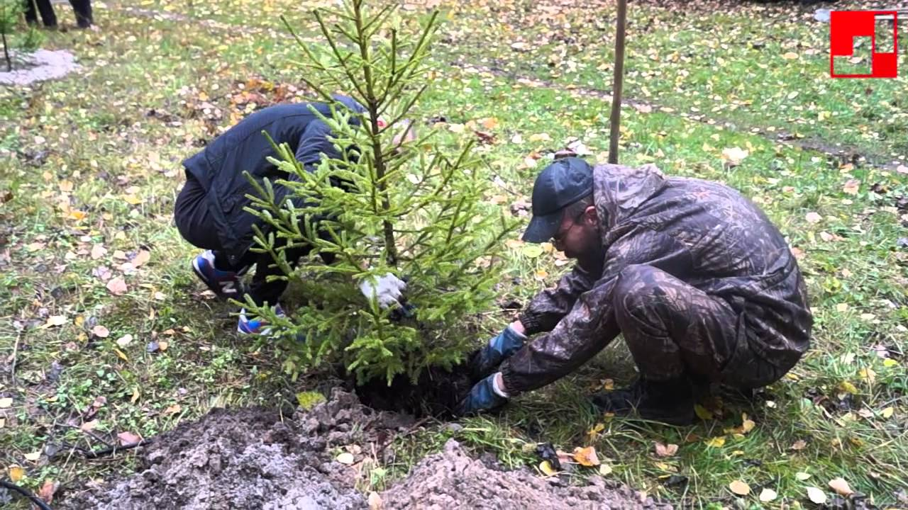 Почему нельзя садить елки