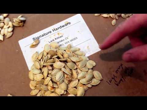 (12/18/2016) Saving The Best Pumpkin Seeds