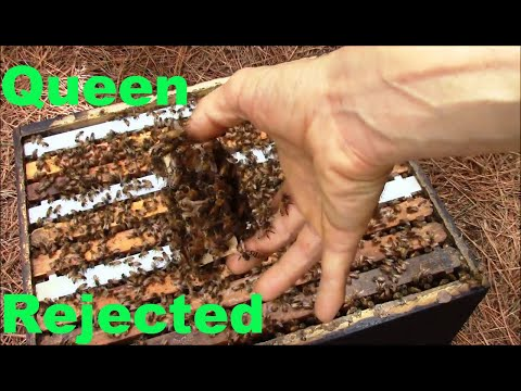 How bees behave when they don't accept the new queen bee.