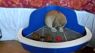 How To Litter Box Train Your Rabbit