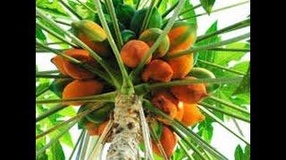 Cultivar Papaya
