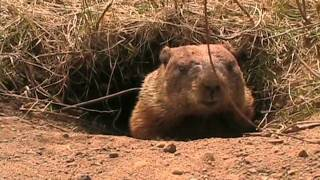 [Curious groundhog]