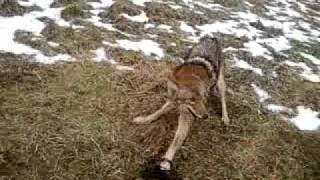 Big Coyote In Trap
