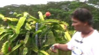 Dragon Fruit Farming