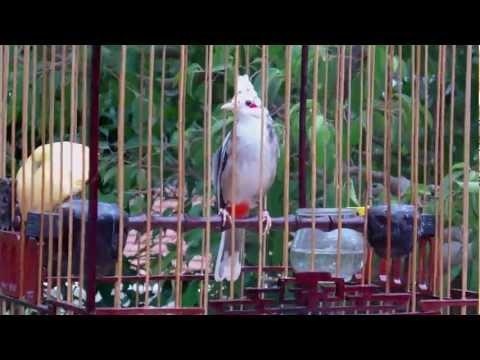 Chim chào mào bông trắng CỦA BÁC HẢI 0905283082 CLB chim F5 ĐÔNG HÀ - GIÁ 160C .AVI