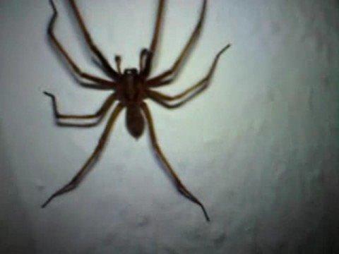 spider deutsch