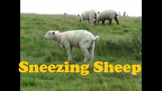 [Sheep sneezes like man]