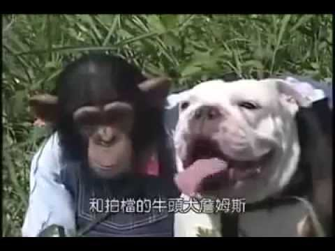 Chú khỉ thông minh và bạn chó: P1: đi nhặt hạt dẻ