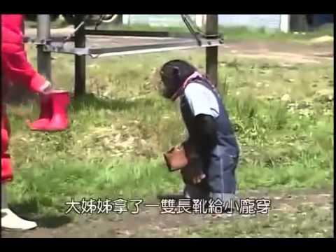 Khỉ và chó thông minh tại Nhật Bản làm việc tại trang trại bò. Clip giải trí Nhật Bản