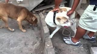 Cruze De Perros Pitbull Original