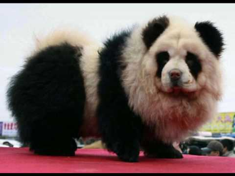 Chow Chow Panda Dog For Sale Uk