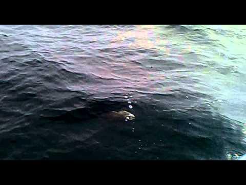 Pancing di kapal karam jepun Penang  (precico part 2(pari 25kg)