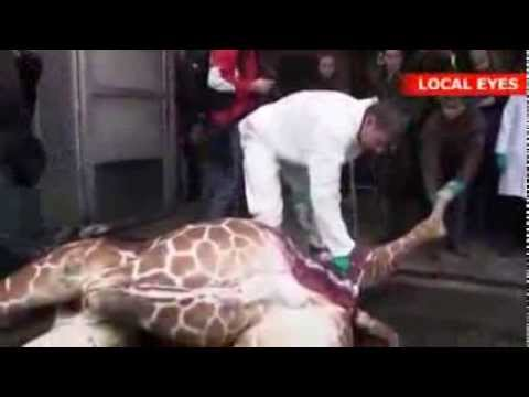 ✦BABY GIRAFFE BRUTALLY KILLED & FED TO LIONS @ COPENHAGEN ZOO✦