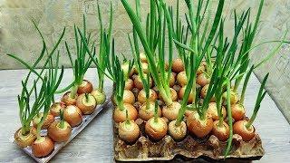 Cultivo de cebollas sin tierra