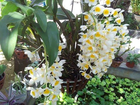 Vườn phong lan gia đình- Home Orchid garden