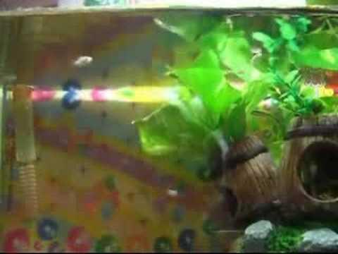 出生兩週大小球魚及一週大孔雀魚