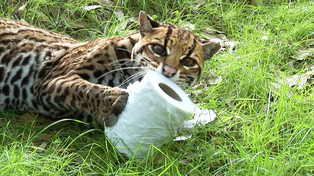 Quand les chats sauvages jouent avec papier toilette