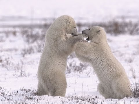 Polar Bears Of The Canadian Arctic SD
